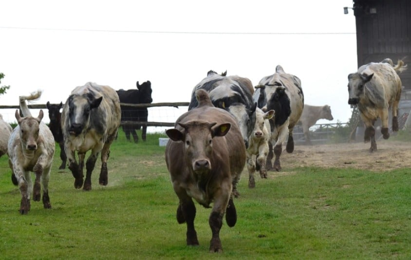 cows running going crazy