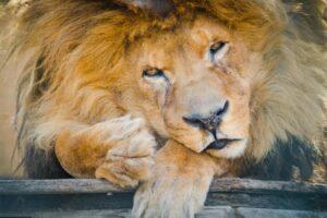 sad lion looks like crying tears